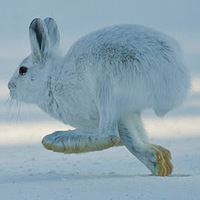 Snowshoe hare at Dog Sled Rides of Winter Park