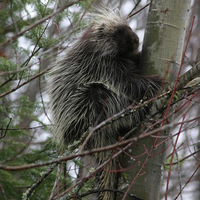 Porcupine at Dog Sled Rides of Winter Park